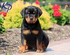 Max – Rottweiler Puppy www.keystonepuppies.com  #keystonepuppies  #rottweiler