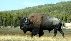 Bisonte en la naturaleza
