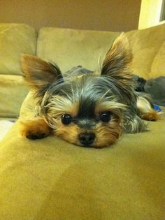 Yorkshire Terrier eyes photo