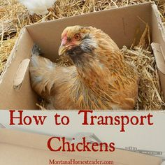 Planning to add some adult chickens to your flock? Here's how to transport chickens in a car! |  Montana Homesteader