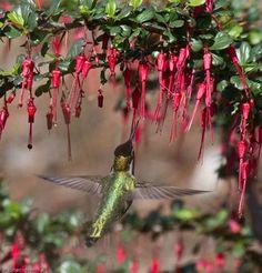 Gardening for Hummingbirds - California Native Plant Society
