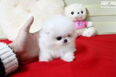 Pomeranian Puppy for Sale: Lil Snowman Micro Teacup Pom Ice White Available! - b75e0be2-6971