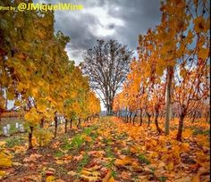 It's FALL in the VINEYARD... #Oregon.... Picture PERFECT...! #wine #winelover
