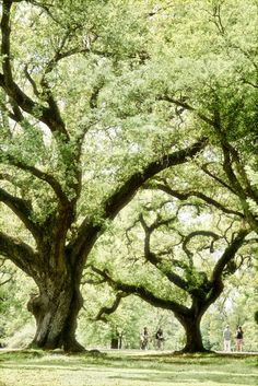 Majestic Oaks, Audubon Park in New Orleans, Louisiana.  Picnic under the protection of the beautiful trees.