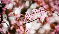 Distant branches away: Cherry blossoms