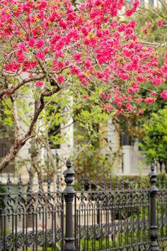 Spring Blooms along King Street, Charleston, SC via Hue and Eye
