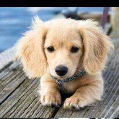 Dachshund mixed with Golden Retriever. <----- this is NOT a dachshund mixed with retriever - not possible have you seen the size of the two dogs? It's just a long hair mini dachshund.however it's super duper cute! Animals And Pets, Baby Animals, Cute Animals, Wild Animals, Best Dog Breeds, Best Dogs, Puppy Breeds, Cute Dogs Breeds, Cute Puppies