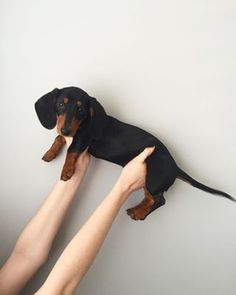 How is it possible something can simultaneously be so long but so little? | 21 Reasons Why Dachshunds Are Gifts To The World