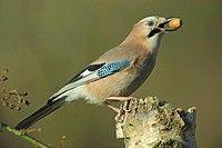 BWI-BS312826 jay Garrulus glandarius sitting on a tree snag with an acorn in its beak Germany Lower Saxony