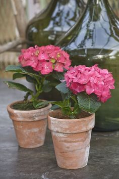 Container Gardening Ideas Hydrangea Transplants - Turn one healthy hydrangea plant into five, ten, or as many as your heart and garden desire with this easy method of propagation. Hydrangea Potted, Hydrangea Landscaping, Hydrangea Care, Landscaping Design, Backyard Landscaping, Transplanting Hydrangeas, Flowers Perennials, Planting Flowers, Garden Yard Ideas