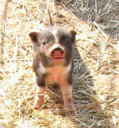Mini Pigs- so cute. they're about 20 lbs, full grown. Photos of Royal Dandies, the smallest miniature potbellied pigs (potbelly pigs). Cute Baby Pigs, Cute Piglets, Farm Animals, Animals And Pets, Cute Animals, Miniature Pigs, Pot Belly Pigs, Teacup Pigs, Mini Pigs