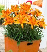 Matala Värililja Tiny Skyline (Lilium Hollandicum-ryhmä)