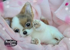 Chihuahua puppy- Is #chihuahua puppy- Isi