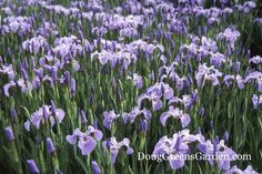 Iris sibirica or Siberian Iris will grow in the sunnier sections in the drip line area next to a black walnut