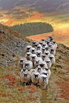 Scottish blackface sheep, Scotland