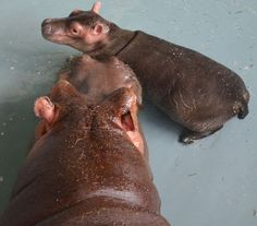 awesome baby hippo