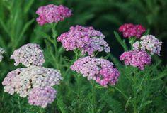 "Common Yarrow 'Saucy Seduction' (Achillea millefolium) .................... Height: 18""; Zones 4-9"