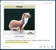 http://www.pleated-jeans.com/wp-content/uploads/2013/07/funny-Wikipedia-least-weasel-1.jpg