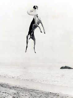 Great Whippet Photography