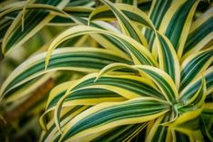 Dracaena Plant Varieties - What Are The Best Kinds Of Dracaenas To Grow