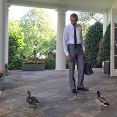 President Obama watching ducks wandering the properiety. Black Presidents, Greatest Presidents, American Presidents, American Soldiers, First Black President, Former President, Barak And Michelle Obama, Barack Obama Family, Obamas Family