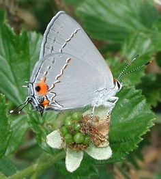 Grey Hairstreak (Strymon melinus).