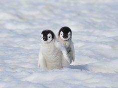 Two cute baby Emperor Penguins Penguin Pictures, Cute Animal Pictures, Cute Little Animals, Cute Funny Animals, Pinguin Illustration, Pinguin Tattoo, Cute Puppies, Cute Dogs, Cute Penguins