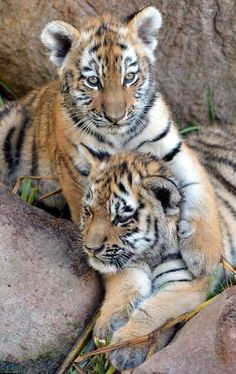 Brothers in arms: Ivo holds his sibling, Tamur, at the Leipzig, Zoo. The Amur tiger cubs are 3 months old. Photo: Hendrik Schmidt, AFP/Getty Images / SF
