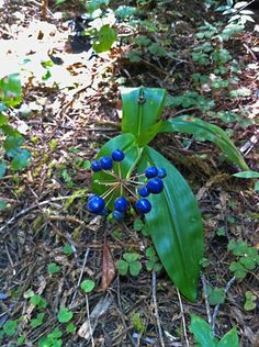Clintonia andrewsiana bearing blue fruits at Jedediah Smith Redwoods State Park. http://blog.savetheredwoods.org/blue-as-blue-can-be/#