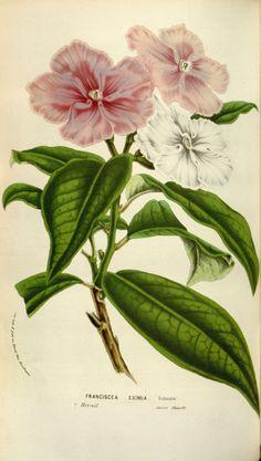flore serres et jardins Europe - Flore serres et jardins d Europe - 10240 Franciscea eximia - Gravures, illustrations, dessins, images