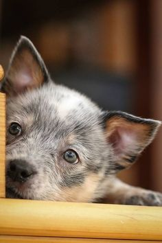 Cute Puppies, Dogs And Puppies, Doggies, Austrailian Cattle Dog, Baby Animals, Cute Animals, Gado, Blue Heelers, Baby Dogs