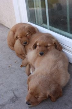 sleeping puppies Little Puppies, Dogs And Puppies, I Love Dogs, Cute Dogs, Funny Animals, Cute Animals, Baby Animals, Sleeping Puppies, Wild Dogs