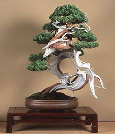 1000+ ideas about Juniper Bonsai on Pinterest | Mini Bonsai ...