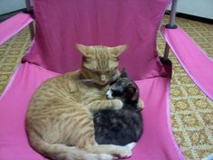Another story? Fancy Cats, Big Cats, I Love Cats, Cute Cats, Unlikely Friends, Cat Hug, Puppies And Kitties, Pet Birds, Cat Lovers