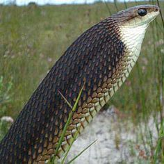 Boomslang, Western Cape, with neck inflated in threat posture. [photo C. Dorse S. van Rooyen , from SARCA Virtual Museum] Spiders And Snakes, Scary Snakes, Beautiful Snakes, Animals Beautiful, Reptile House, Scary Animals, Snake Venom, Crocodiles, Vertebrates