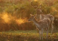 conflictingheart:  Morning deer (anthony marston)
