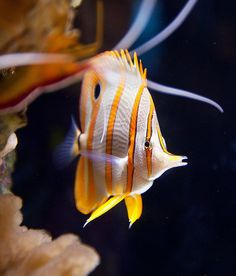 *Monterey Bay Aquarium (by SAFNYC)  Butterfly fish?