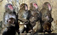 Macacos japoneses toman el sol en el sol en un parque zoológico en el parque de atracciones Everland en Yongin, Corea del Sur, 9 de enero de 2013. El Servicio Meteorológico Nacional emitió una alerta de ola de frío ya que las temperaturas de la mañana llegaron a 51 grados.  (Foto por Lee Jin-man / Associated Press)