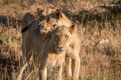 Future Leader // A bold cub of Birmingham Pride // Photo by Johan Adolf Smalman Birmingham Pride, Lion Love, Lion Cub, Badass Tattoos, Kruger National Park, Cheetahs, Safari Animals, Leopards, Wildlife Photography
