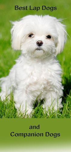 Best dogs for older people - boomers and seniors - http://boomerinas.com/2013/06/best-dogs-for-old-people-boomers-and-seniors/