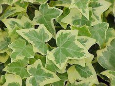 Hedera helix Gold Child English Ivy