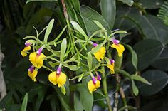 Orchid, Shaw Garden