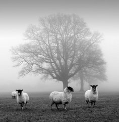 Image via We Heart It https://weheartit.com/entry/170235433 #black #conceptual #fog #night #sheep #tree #white