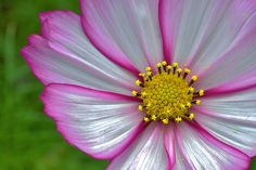 Macro of Cosmos flower - Flickr - Photo Sharing!