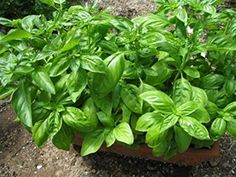Seeds Green Leaf Basil Yunga  Sailor Fresh Organic Russian Heirloom Seed * Click on the image for additional details.