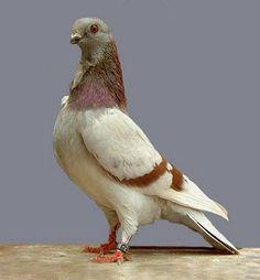 Beautiful Figurita frills Pigeons and Various