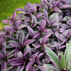 """Includes (3) Persian Shield plants in 4"""" grower containers. Typically grown indoors as a houseplant but can be grown outdoors in USDA hardiness zones 10-11. Mature size indoors is 2 - 3' tall and 1 - 2' wide. Its shield-shaped foliage shimmers in shadesof neon purple giving the plant a metallic appearance. Performs best in partial shade to partial light. National Plant Network 1-in(Es) No Flowers Persian Shield in Pot 