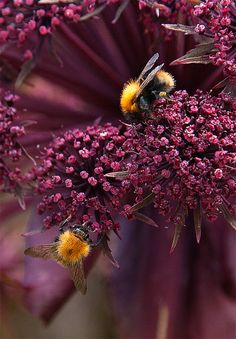 Angelica Gigas, give the bees what the bees like best. It is for our common future!