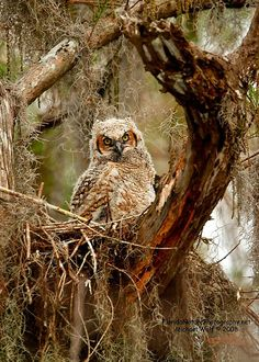 Great Horned Owl Chick in Nest. The Great Horned Owl, (Bubo virginianus), also known as the Tiger Owl, is a large owl native to the Americas. It is an adaptable bird with a vast range and is the most widely distributed true owl in the Americas
