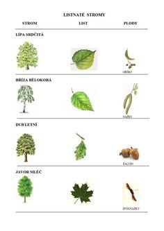 Výsledek obrázku pro listnaté stromy čr